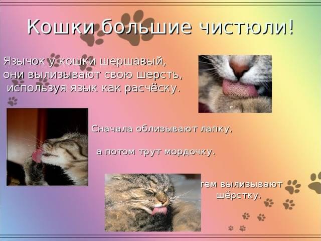 Настоящие пушистые аристократы: все о британских кошках