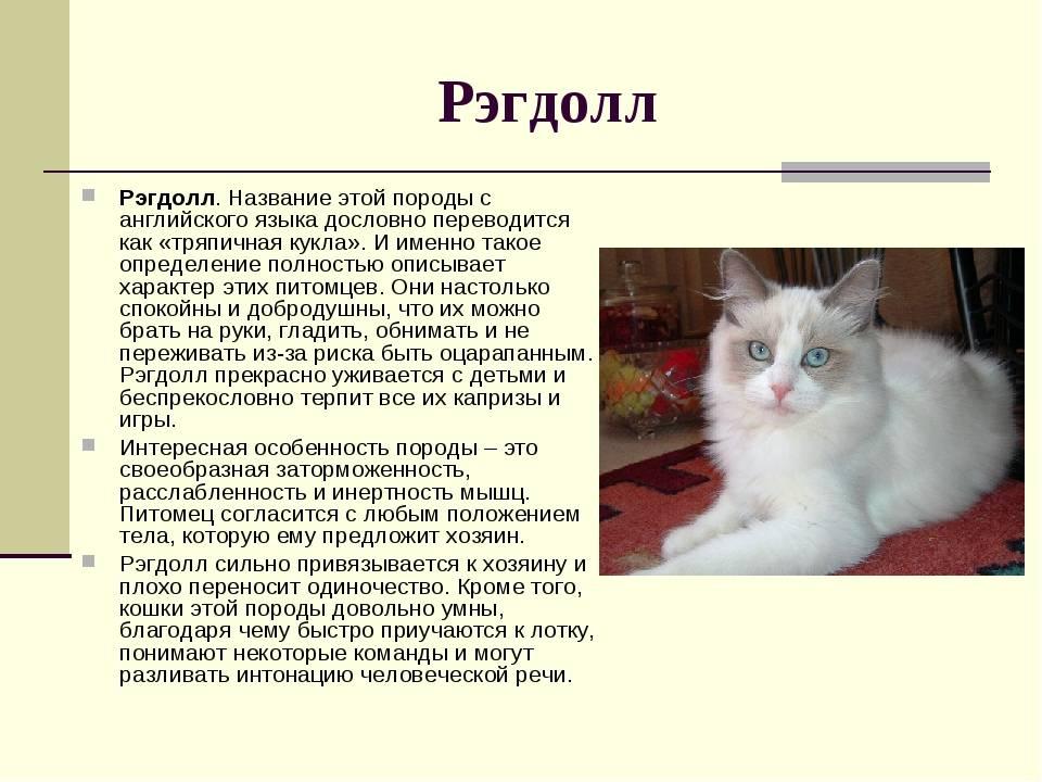 Рэгдолл: описание породы, характер кошки, советы по содержанию и уходу, фото ragdoll