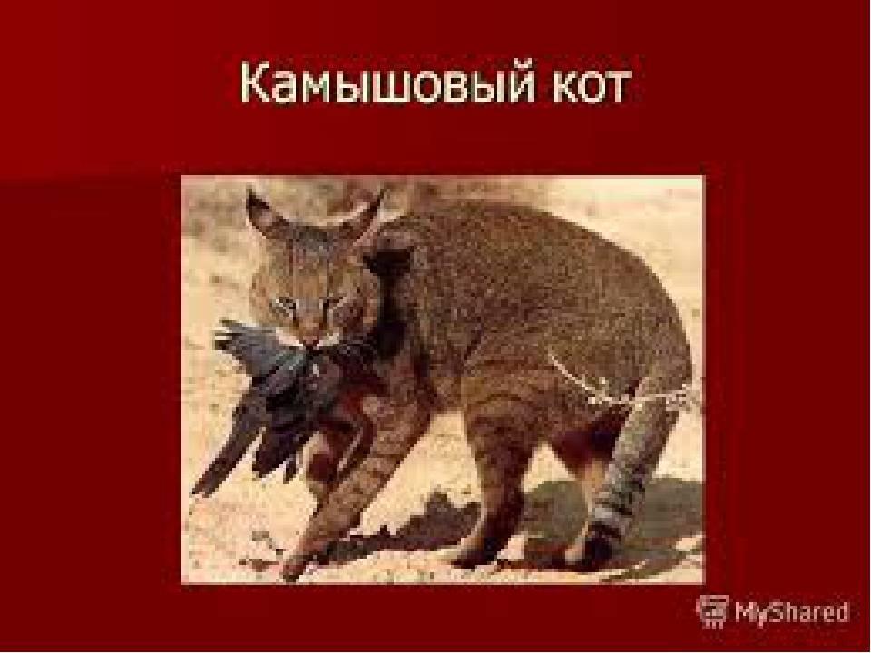 Камышовый кот: описание, характер, среда обитания и образ жизни, фото болотной кошки
