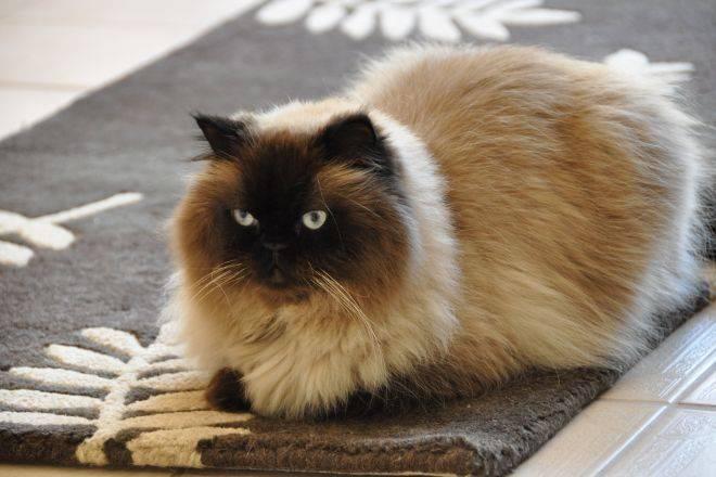Гималайская кошка: описание характера, уход, фото, цена