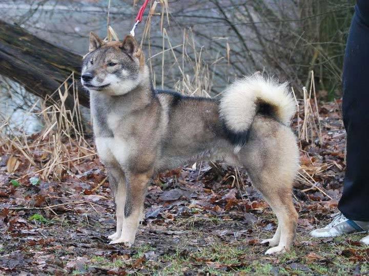 Хоккайдо (айну-кен): описание японской породы собаки с фото и видео