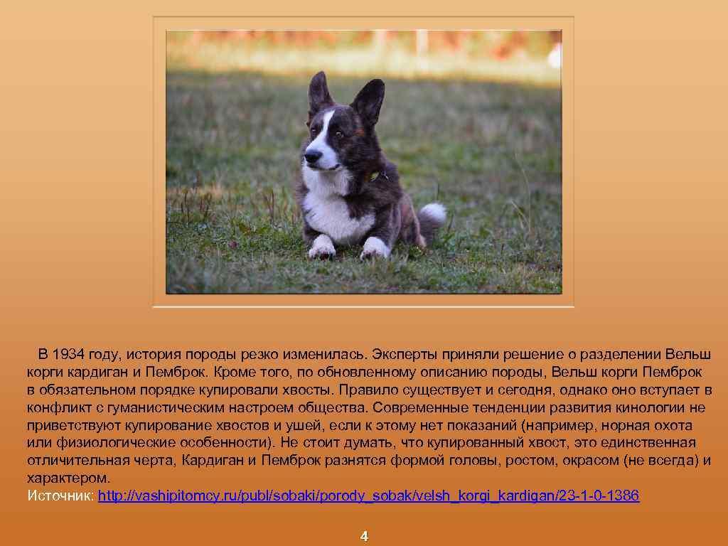 Порода собак вельш-корги-пемброк и ее характеристики с фото
