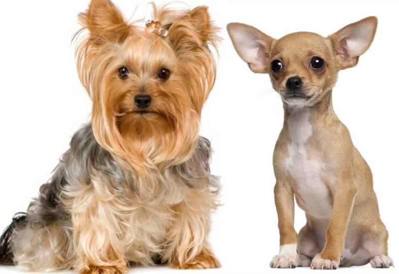 Йоркширские терьеры: как правильно выбрать щенка йорка из помета (советы заводчиков)