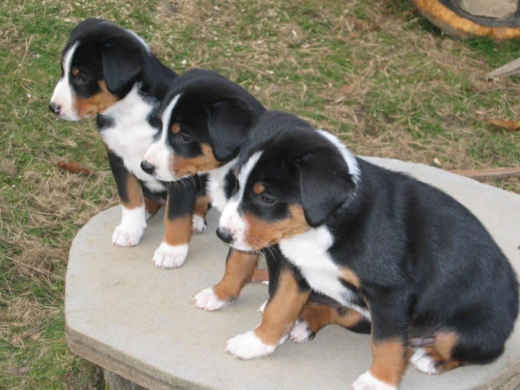 Аппенцеллер зенненхунд — описание породы собак