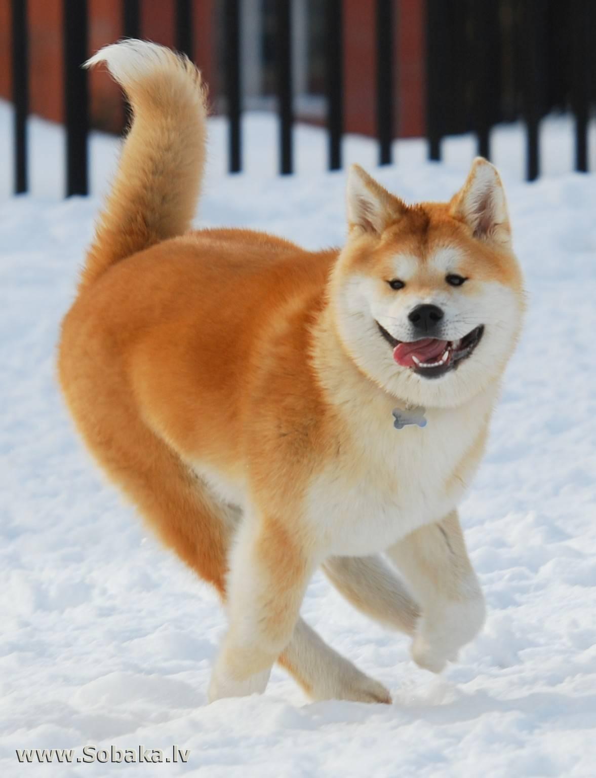 Порода хаски: описание сибирской, ездовой собаки с фото
