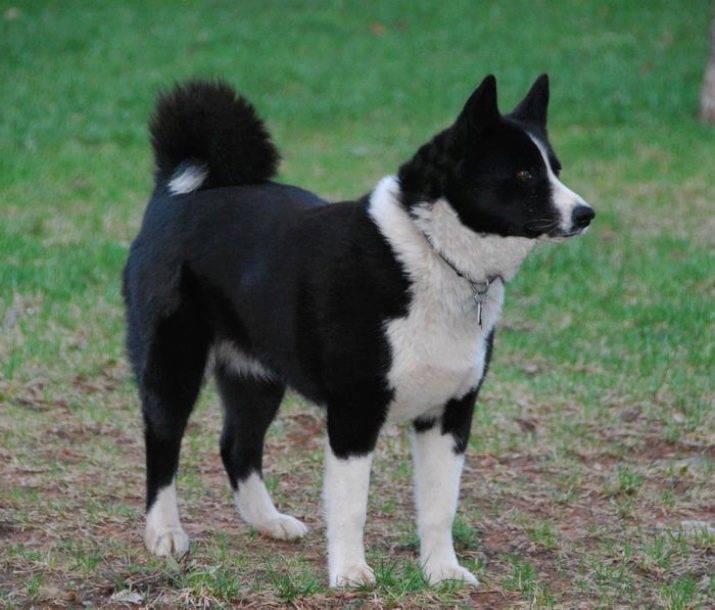 Карельская медвежья собака — серьезный северный зверь и прекрасный помощник в охоте ⋆ собакапедия