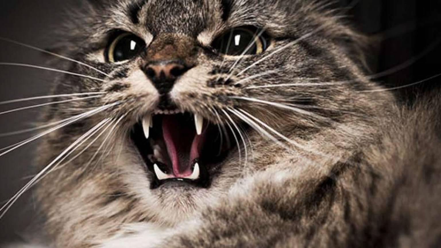 Самые злые кошки в мире