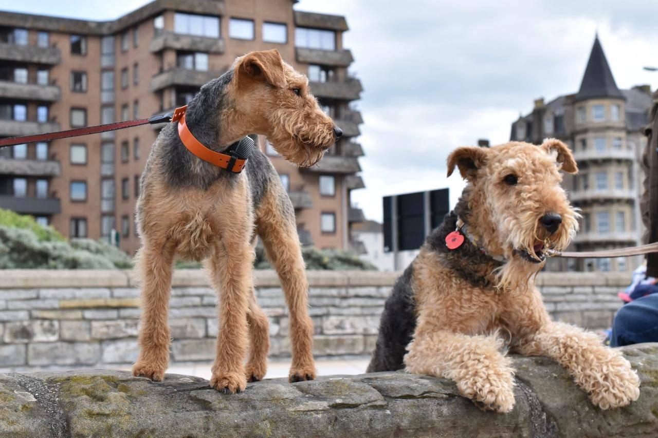 Порода собак эрдельтерьер: описание и 70 фото