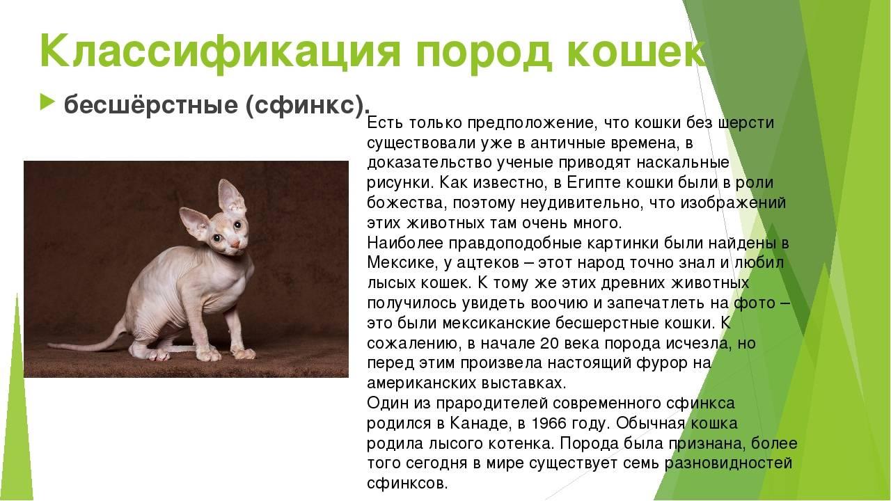 «ушастые» породы кошек