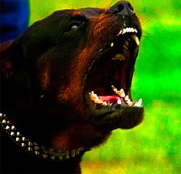 Самые опасные собаки в мире - топ 10, название пород с фото, описание случаев нападения на человека