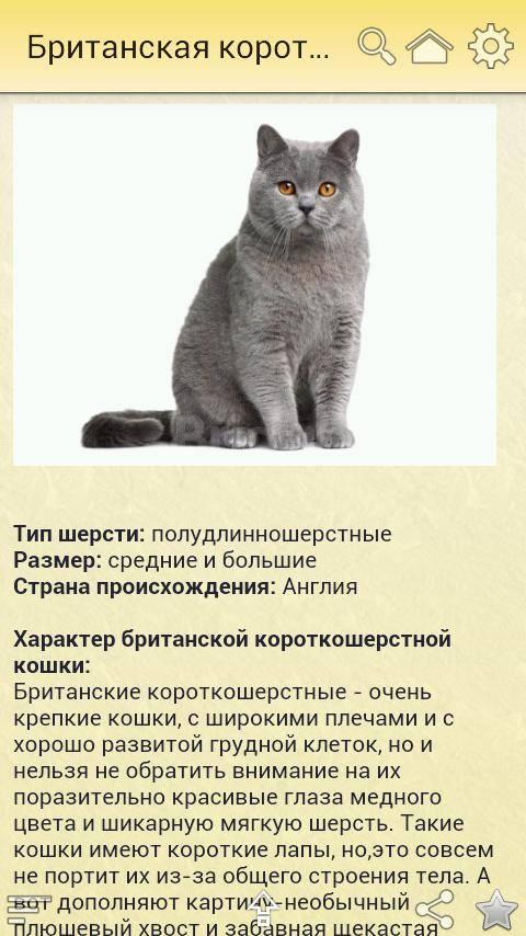 Британские вислоухие кошки: фото, характер, покупка британского вислоухого котенка