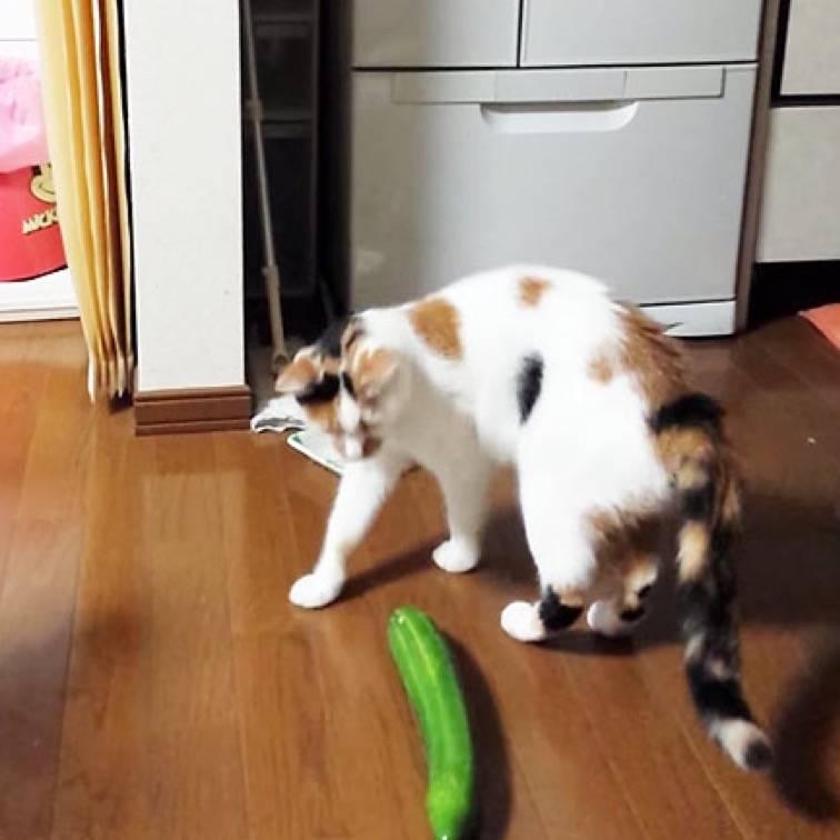 Почему коты боятся огурцов — life-sup.ru