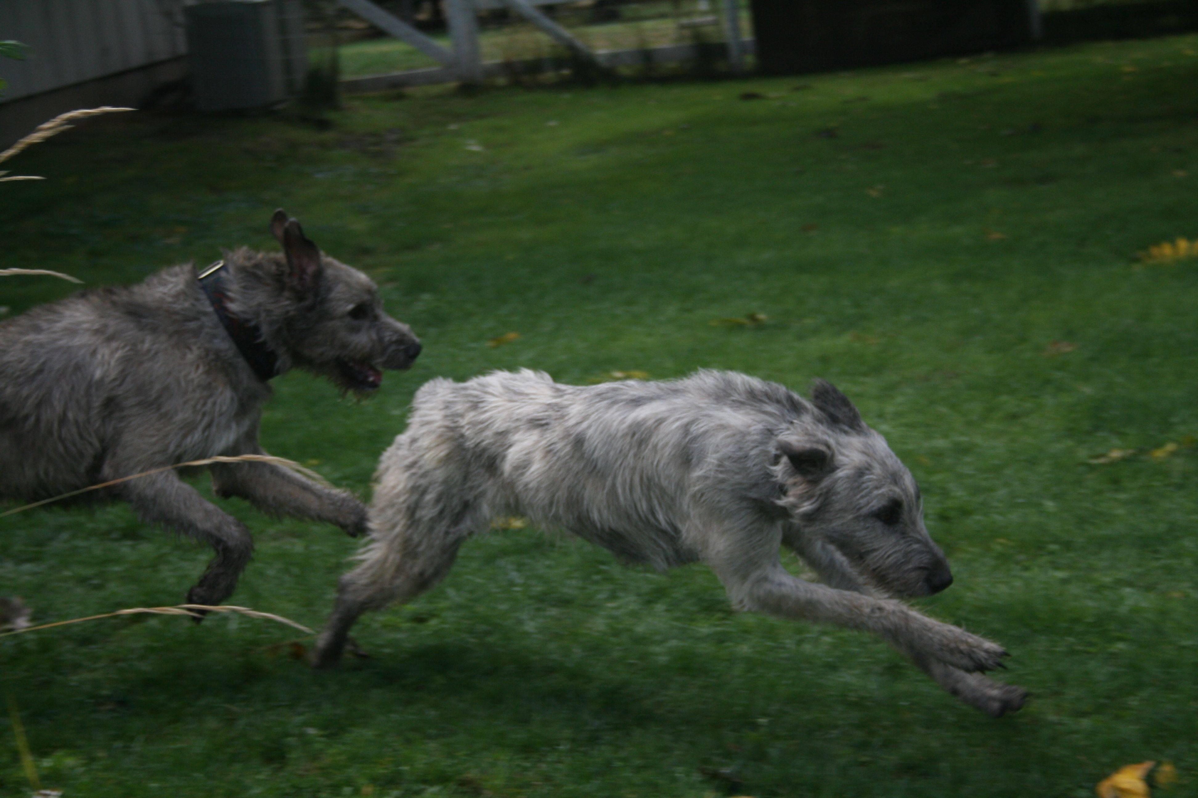 Ирландский волкодав - порода охотничьих собак (100 фото) + описание породы от а до я