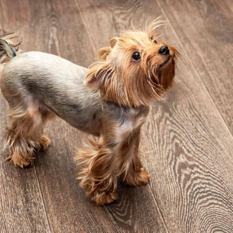 Йоркширский терьер (йорк): описание породы собаки, фото, характер, уход и содержание, щенки