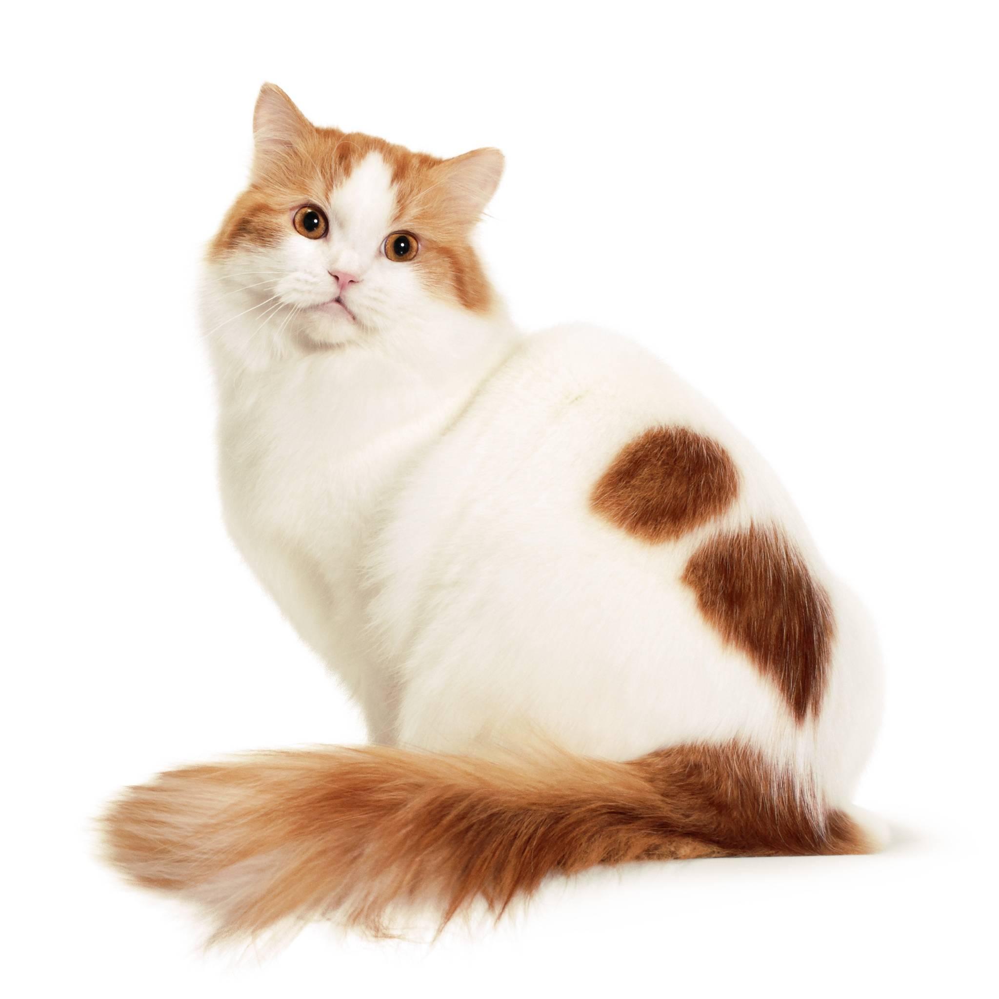 Рагамаффин кошка. описание, особенности, уход и цена породы рагамаффин | животный мир