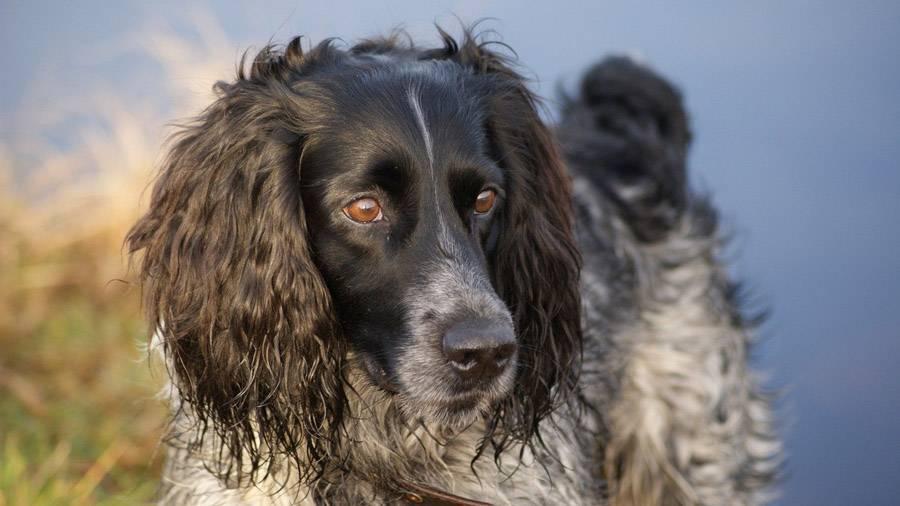 Русский охотничий спаниель: описание породы собак с фото и видео
