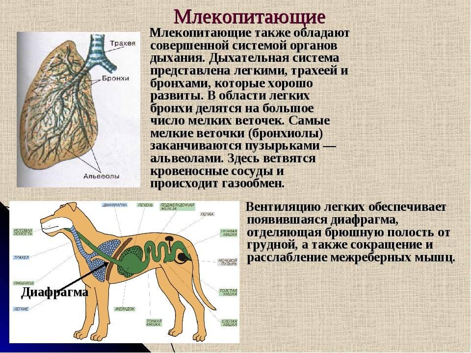Собака кашляет, как будто подавилась: что делать хозяину, причины и сопутствующие симптомы, лечение и профилактика