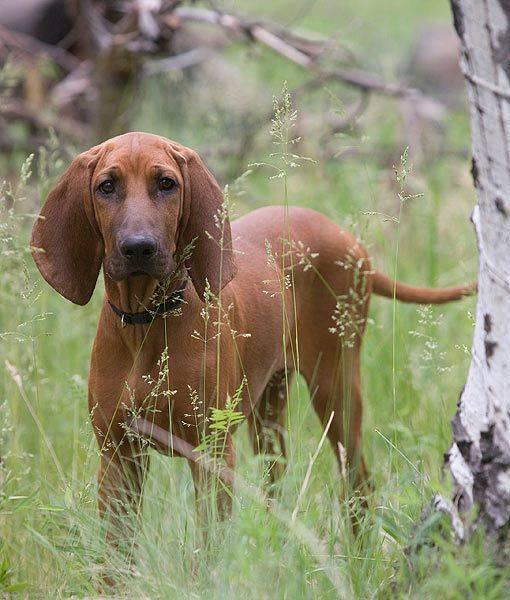 Красный кунхаунд.описание породы, характер, фото | все о собаках