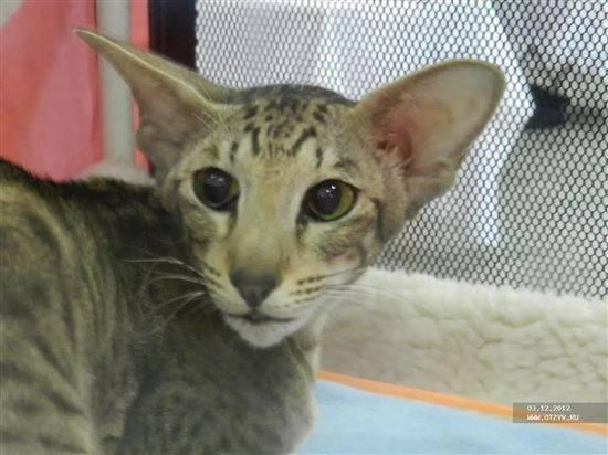 Помесь сиамской и сибирской кошки - зоо мир