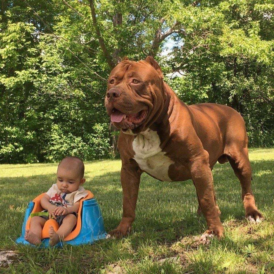Самый большой пес халк. чудовищный питбуль по имени халк - женская красота