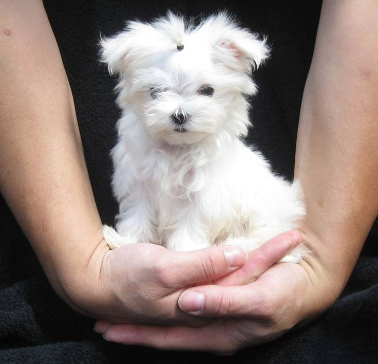 Мальтипу или помесь болонки и пуделя: размеры взрослой собаки и продолжительность жизни