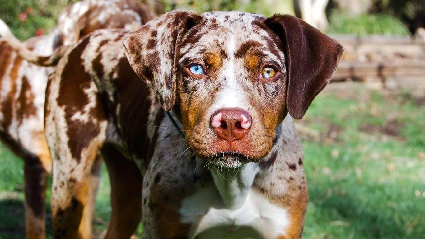 Леопардовая собака катахулы (28 фото): кратко о происхождении породы, окрас и другие характеристики американской катахулы