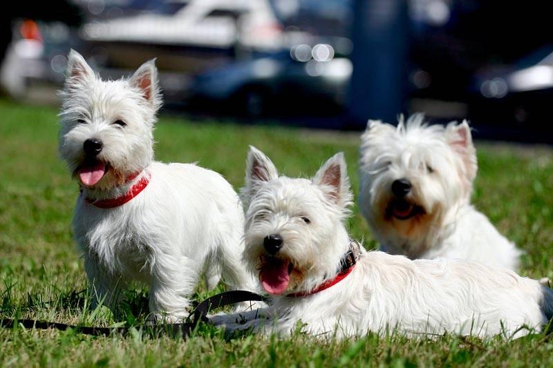 Описание породы собак вест хайленд уайт терьер с отзывами и фото
