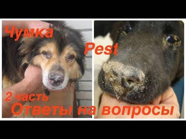 Чумка у собак - симптомы, первые признаки и лечение - как определить, что делать и чем лечить, если собака заболела чумкой - лапы и хвост