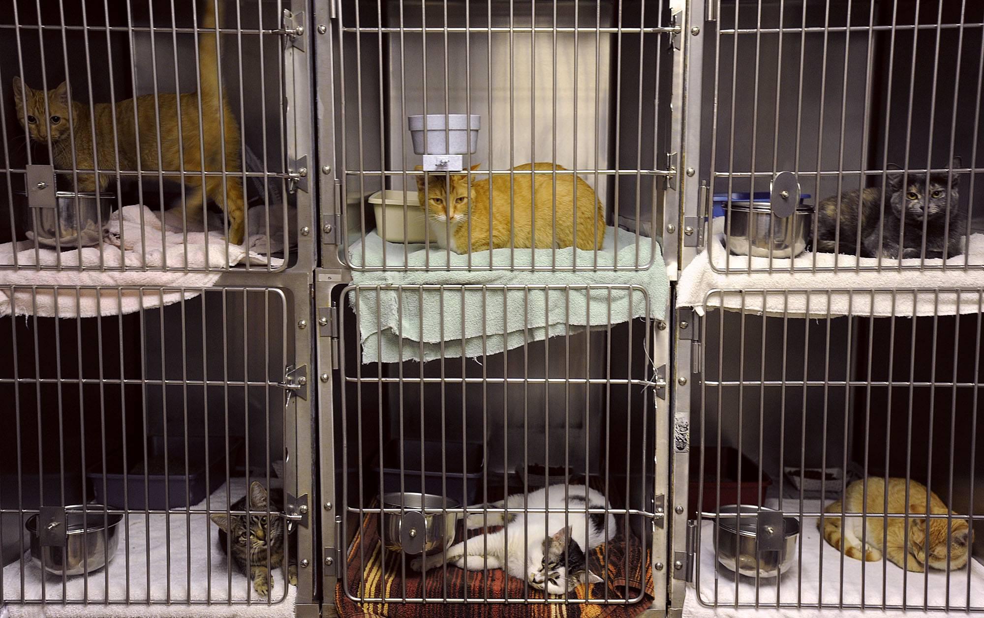 Как начать разводить кошек - разведение породистых кошек как бизнес
