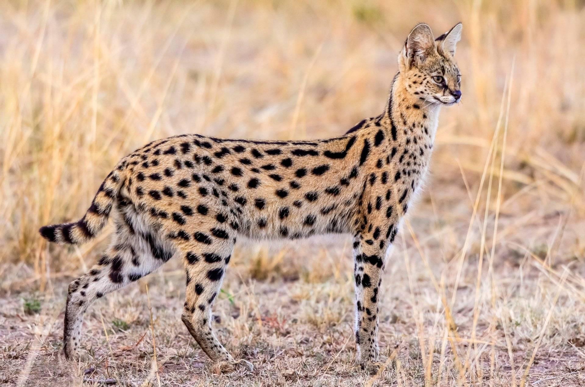 Кошка ашера: описание породы, окрасы и характер, уход и стоимость