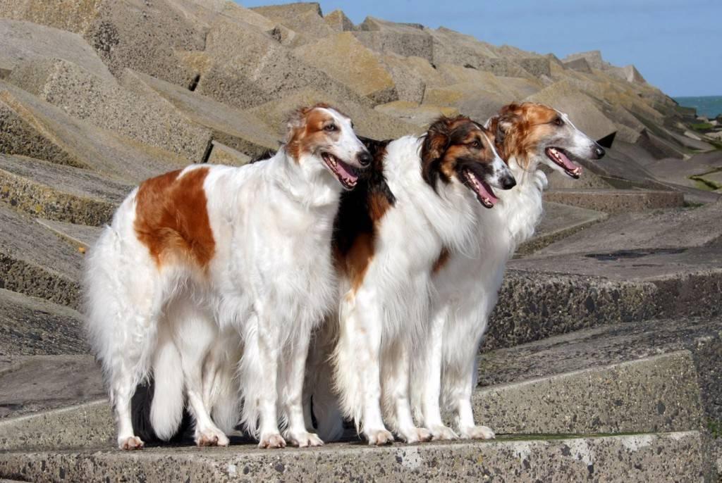 Охотничьи собаки - рейтинг и правила выбора гончих, борзых, норных, легавых и универсальных