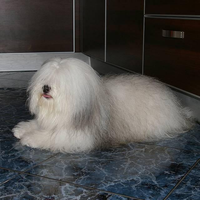 Одис (одесская домашняя идеальная собака)