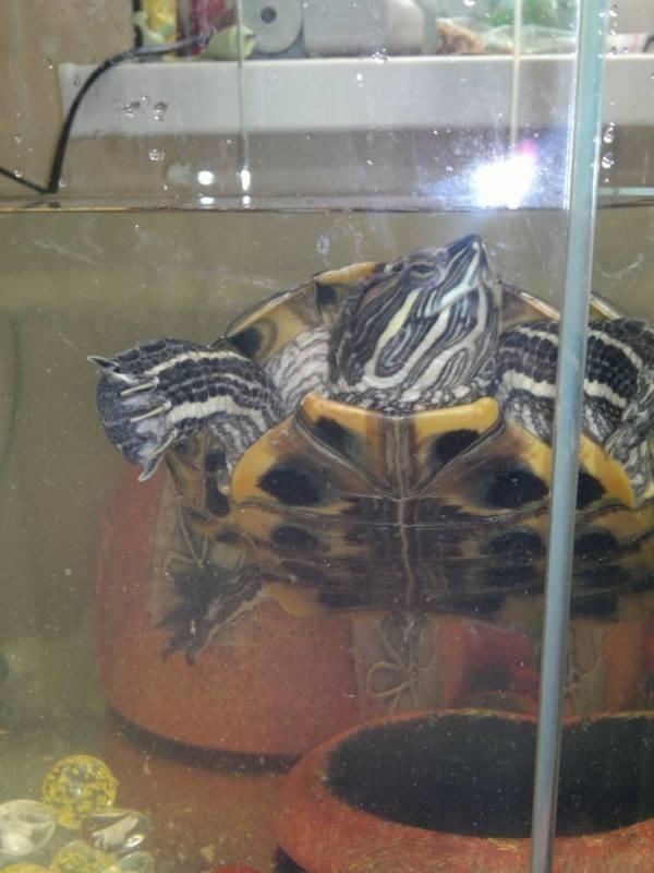 Красноухая черепаха: как ухаживать и содержать в домашних условиях