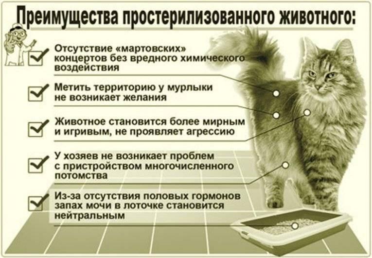 Сколько живут сиамские кошки? средняя продолжительность жизни сиамских котов в домашних условиях. отличается ли срок жизни у кастрированных котов?