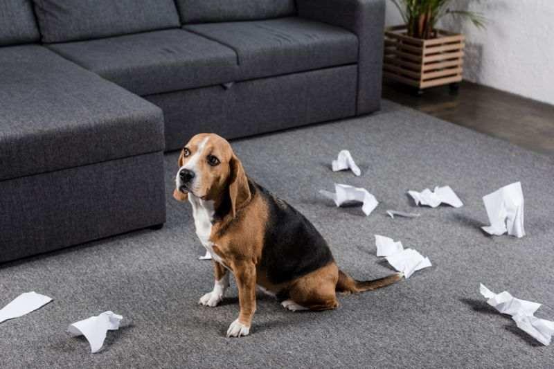 Как быть, если пес метит территорию дома