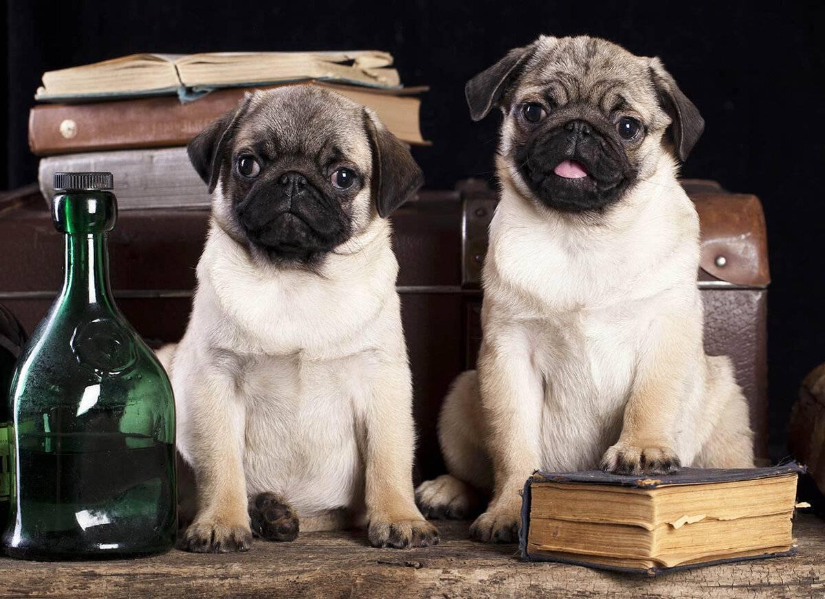 Породы собак, похожие на мопсов