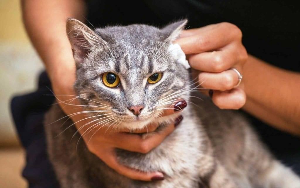 """Сухой нос у кота: признак заболевания или естественное явление   блог ветклиники """"беланта"""""""