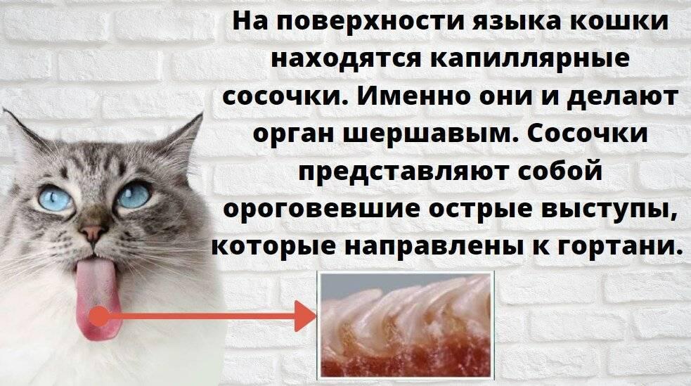 Почему у кошки шершавый язык