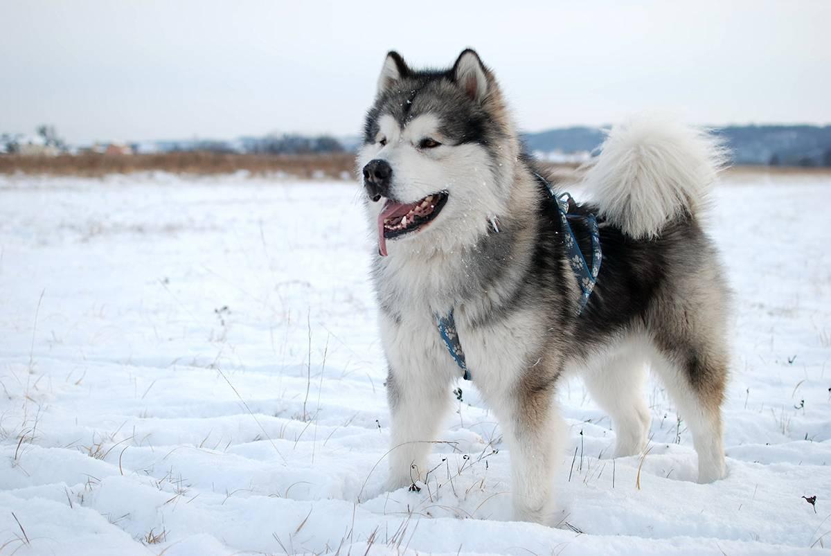 Собаки каких пород приспособлены жить на улице круглый год? как ухаживать за питомцами, когда ударят морозы?