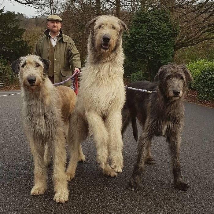Волкодав — фото, как выглядит | dog-care - журнал про собак