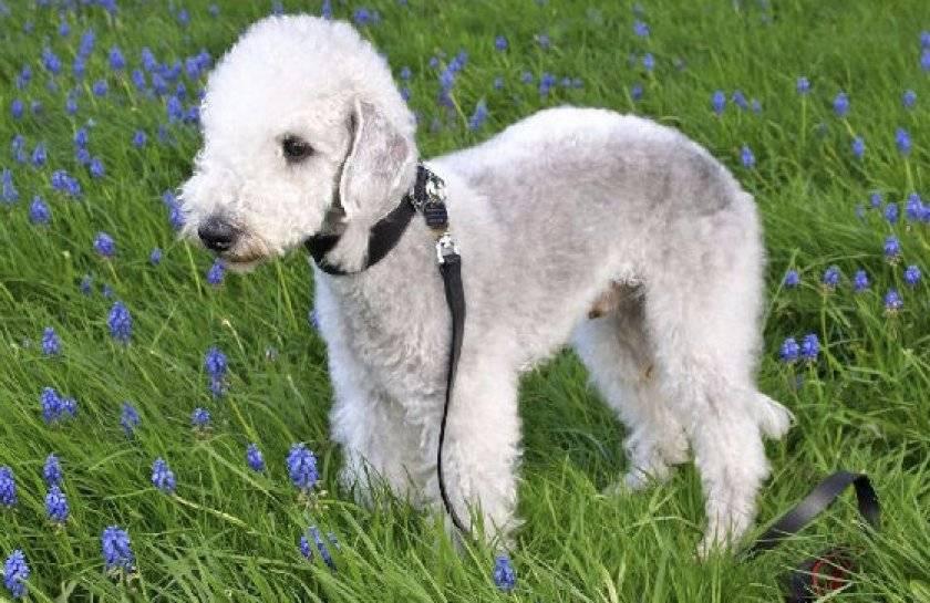 Бедлингтон терьер. о породе собак: описание породы бедлингтон терьер, цены, фото, уход
