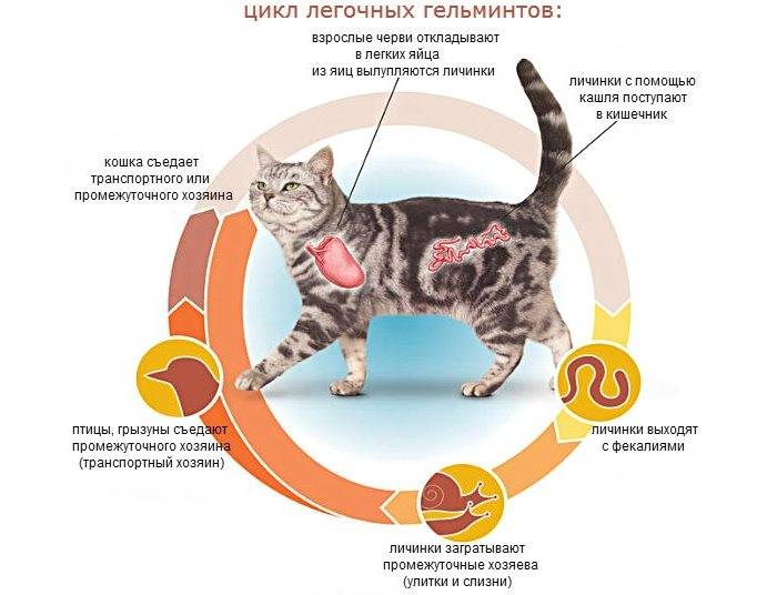 Кошка кашляет: чем лечить кашель у кошки | zoosecrets