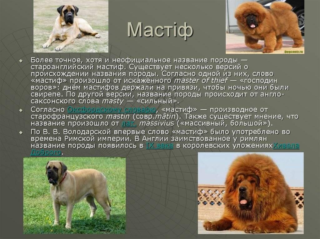 Особенности породы собак английский мастиф, описание и характеристика