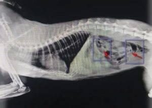 Инородные тела в желудке домашних животных