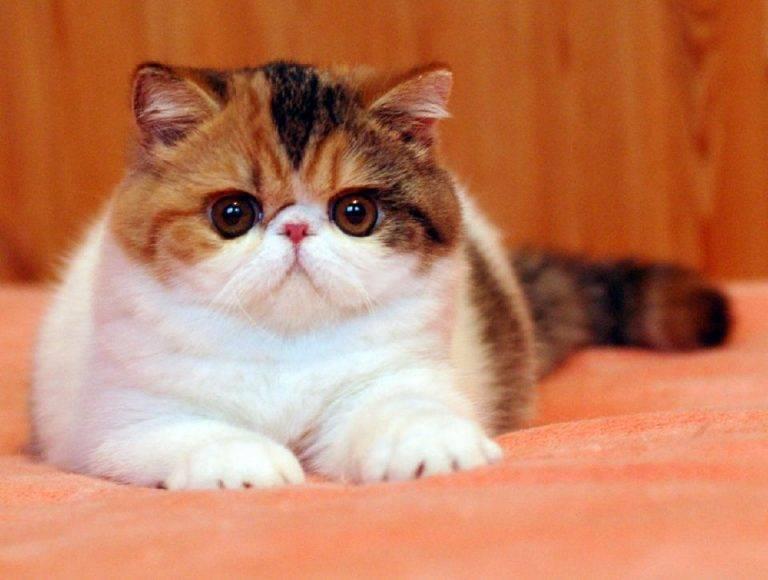 Экзотическая кошка, или экзот: фото, описание породы, характер, здоровье, уход и содержание