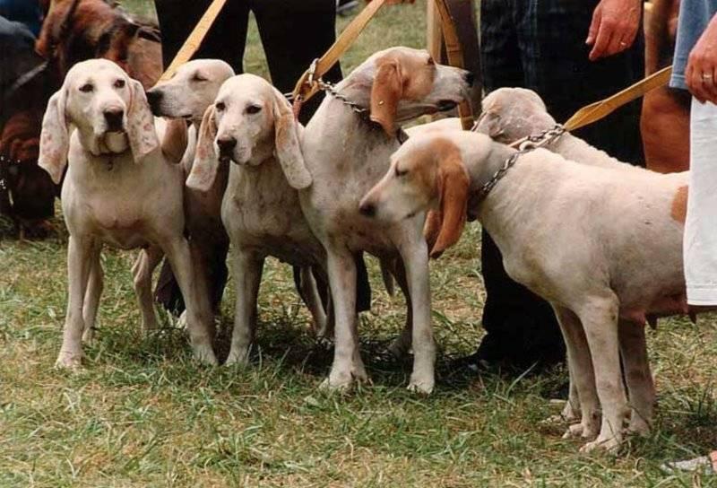 Истрийская гончая: описание породы собак с фото и видео