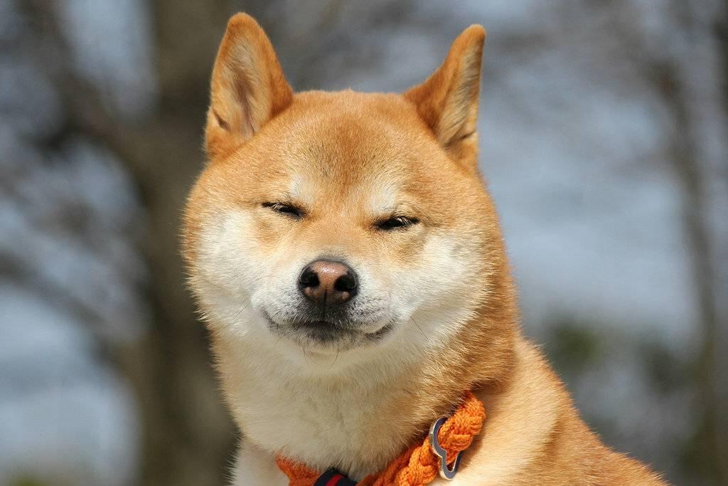 Японские породы собак с фотографиями и названиями, обзор всех представителей с описание