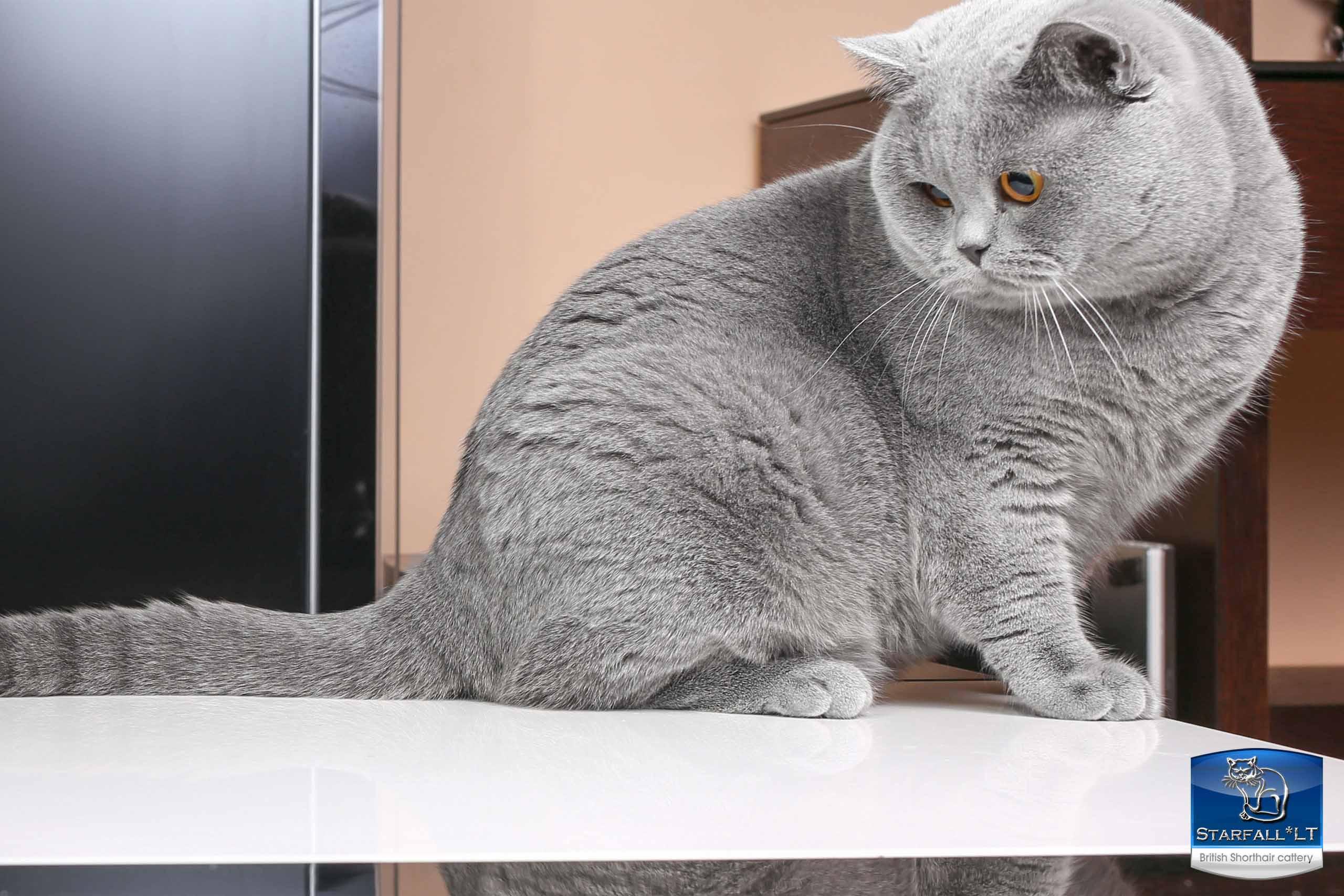 Серые британские кошки: описание и правила ухода