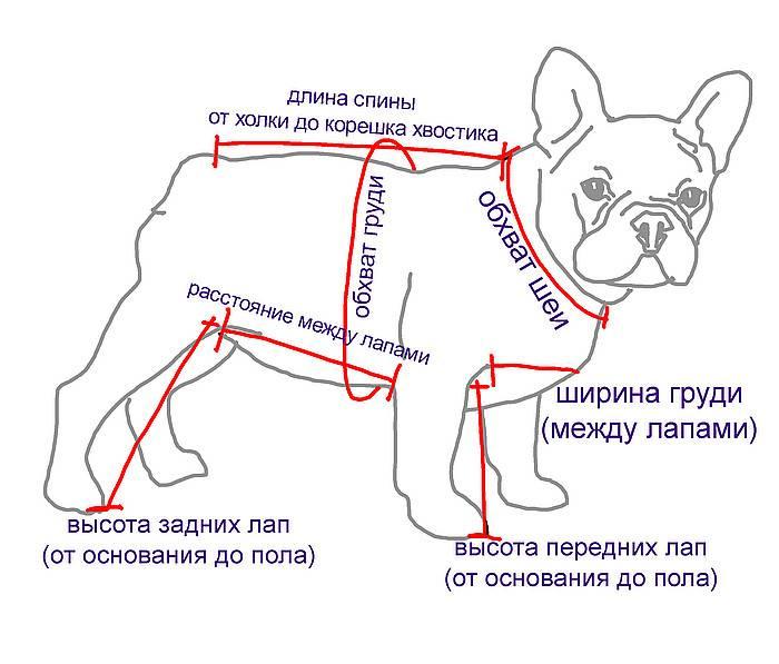 Французский бульдог: выбор щенка, содержание и дрессировка