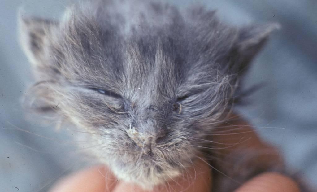 Вирусный ринотрахеит у кошек: симптомы и лечение в домашних условиях